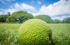 Frutas-pão em um campo gramíneo Imagem de Stock