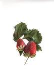 Frutas podres Imagens de Stock