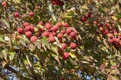 Frutas que cuelgan en un árbol de cornejo de Kousa imagen de archivo