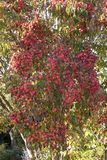 Frutas que cuelgan en un árbol de cornejo de Kousa imagen de archivo libre de regalías