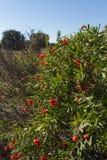 Frutas rojas de Daphne Gnidium imágenes de archivo libres de regalías