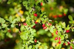 Frutas rojas del bérbero Fotografía de archivo