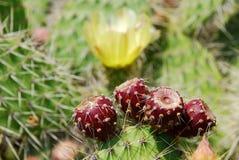 Frutas rojas del cactus imágenes de archivo libres de regalías