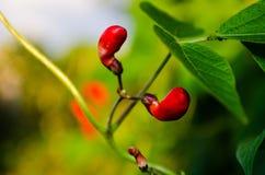 Frutas rojas del florecimiento Fotografía de archivo libre de regalías