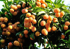 Frutas rojas del lichí en el árbol Foto de archivo libre de regalías