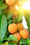 Frutas rojas del lichí en el árbol Foto de archivo