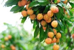 Frutas rojas del lichí en el árbol Fotografía de archivo