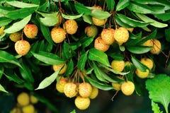 Frutas rojas del lichí en el árbol Imagen de archivo