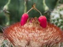 Frutas rojas del melocactus Foto de archivo