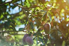 Frutas rojas y verdes coloridas del mango fotografía de archivo libre de regalías