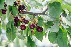 Frutas rojo oscuro de las cerezas, cereza del árbol con las hojas del verde y salvado fotografía de archivo libre de regalías