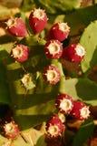 Frutas rojo oscuro de un cactus enorme foto de archivo libre de regalías