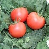 Frutas rosadas del tomate Fotografía de archivo libre de regalías
