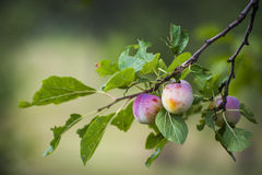 Frutas sabrosas del verano Fotografía de archivo