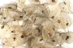 Frutas secadas de la grosella espinosa de cabo Fotos de archivo