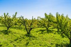 Frutas secadas en árbol de melocotón de muerte entre los sanos Imagen de archivo