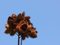 Frutas secas del árbol del lápiz labial (orellana de Bixa) Imagenes de archivo