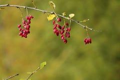 Frutas selvagens Imagens de Stock