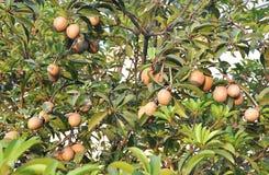 Frutas tropicales - árbol de Chiku Fotografía de archivo