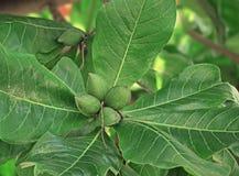 Frutas tropicales de la almendra en planta Imagen de archivo libre de regalías