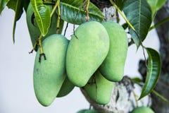 Frutas tropicales verdes del mango Imagen de archivo libre de regalías