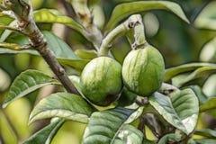 Frutas verdes crudas del loquat en ramas de ?rbol el loquat tiene varias subsidios por enfermedad, incluyendo la capacidad de pre foto de archivo libre de regalías