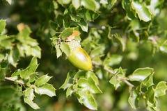 Frutas verdes de la bellota en el árbol de roble en el bosque Foto de archivo libre de regalías