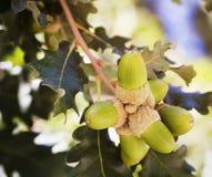 Frutas verdes de la bellota en el roble Fotografía de archivo libre de regalías
