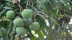 Frutas verdes del mango