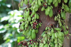 Frutas verdes en el árbol Fotografía de archivo