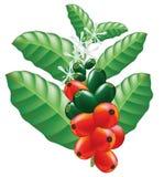 Frutas y flores del cafeto. Imagen de archivo