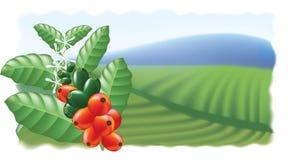 Frutas y flores del cafeto. Fotografía de archivo libre de regalías