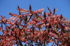 Frutas y follaje otoñal del árbol de vinagre contra el cielo azul Foto de archivo