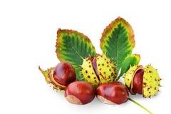 Frutas y hoja de las castañas de Indias f aisladas Imagen de archivo libre de regalías