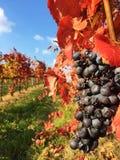 Frutas y plantas de la uva Imágenes de archivo libres de regalías