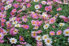 Frutescens Argyranthemum, маргаритка Парижа, маргаритка, маргаритка маргаритки Постоянный завод для садов, парков Идея проекта ла стоковое фото rf