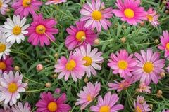 Frutescens Argyranthemum, маргаритка Парижа, маргаритка маргаритки Постоянный завод для садов, парков Идея проекта ландшафта стоковые фото