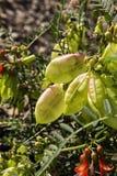 Frutescens de Lessertia Fotografía de archivo