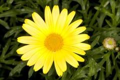 Frutescens de Marguerite Argyranthemum de la luz del sol Fotos de archivo