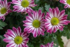 Frutescens do frutescens-Argyranthemum do Argyranthemum Fotos de Stock Royalty Free