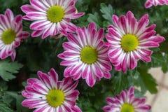 Frutescens do frutescens-Argyranthemum do Argyranthemum Imagem de Stock
