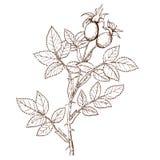 frutettorum de rosa Photo libre de droits