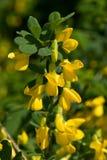 Frutex di Caragana Fotografia Stock