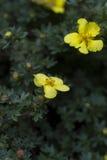 Fruticosa amarillo de Dasiphora de la flor Flores del fruticosa del Potentilla Fotografía de archivo