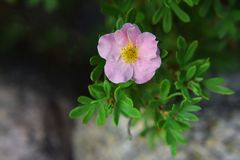 Fruticosa cor-de-rosa do potentilla da flor Fotografia de Stock Royalty Free