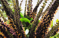 fruticosa de Índigo-Bush Amorpha Foto de Stock