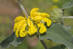 Fruticosa de Phlomis (sábio de Jerusalém) Fotos de Stock
