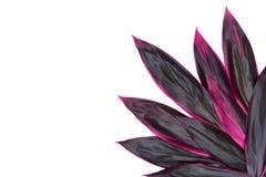 Fruticosa del Cordyline - pétalos rojos - flores exóticas tropicales, Cordy imagen de archivo