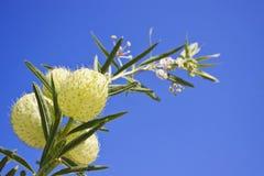 Fruticosa do Asclepias e céu azul do espaço livre Fotografia de Stock