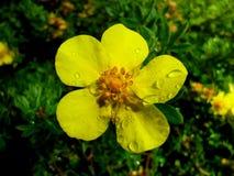 Fruticosa Elizabeth do Potentilla Imagens de Stock Royalty Free